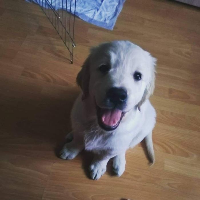 Николь - 6 месяцев! Домашние животные, Собака, Золотистый ретривер, Длиннопост