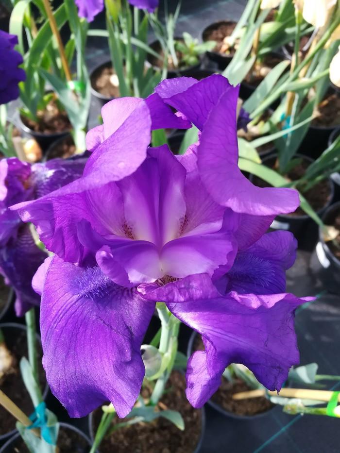В этом году ирисы порадовали своим цветением Фотография, Ирисы, Голубая ель, Длиннопост