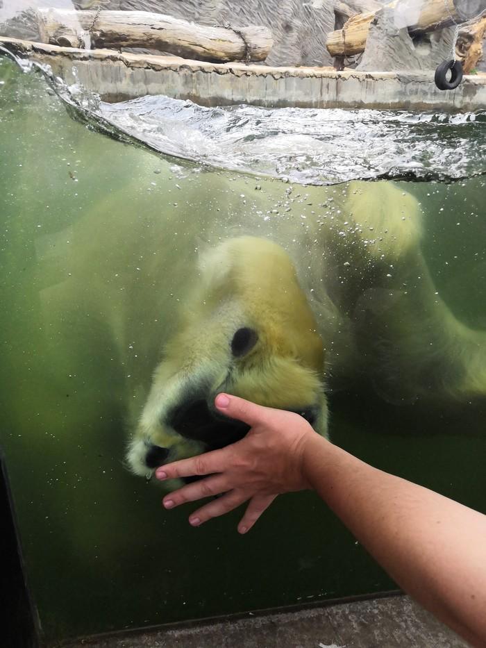 Дал пять Братюне Зоопарк, Белый медведь, Дай пять