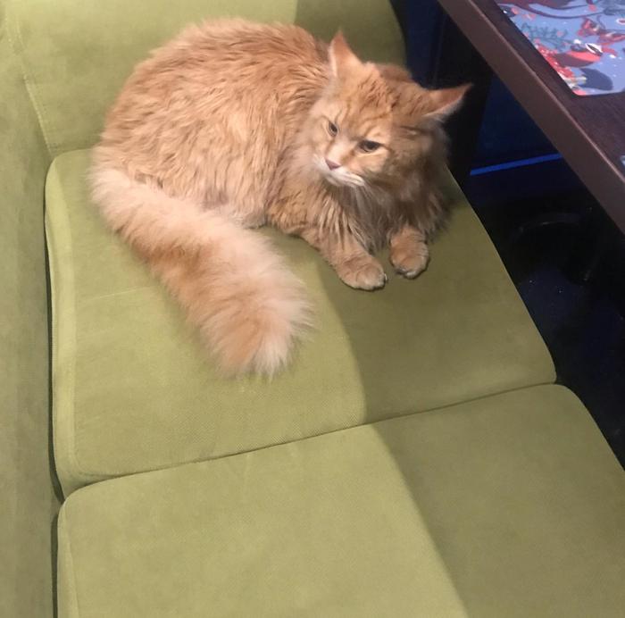 Пропал кот Кот, Мейн-Кун, Санкт-Петербург, Помощь, Помогите найти, Без рейтинга