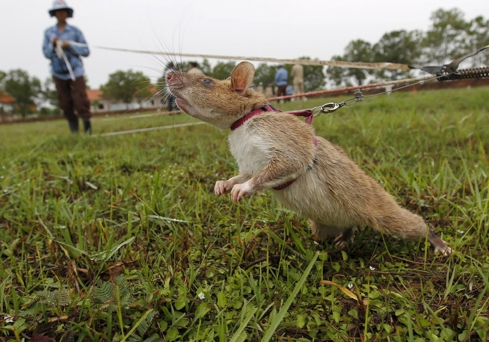 Гигантские крысы-саперы разминируют Камбоджу Камбоджа, Крыса, Мина, Длиннопост