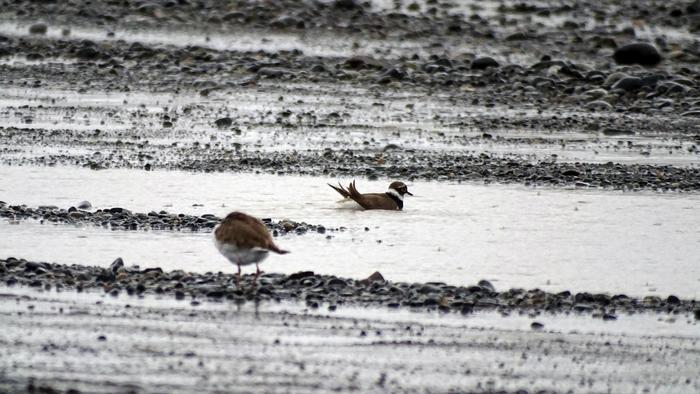 Дождь и ненастье или купание зуйка Птицы, Орнитология, Биология, Фотография, Природа, Длиннопост