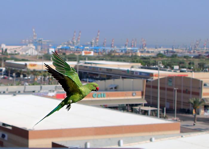 Летят перелётные птицы Ожереловый попугай, Фотография, Птицы, Израиль, Попугай