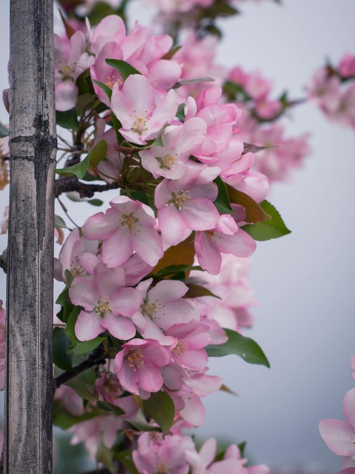Почти сакура) Начинающий фотограф, Цветы, Цветение, Красота, Хочу критики, Длиннопост