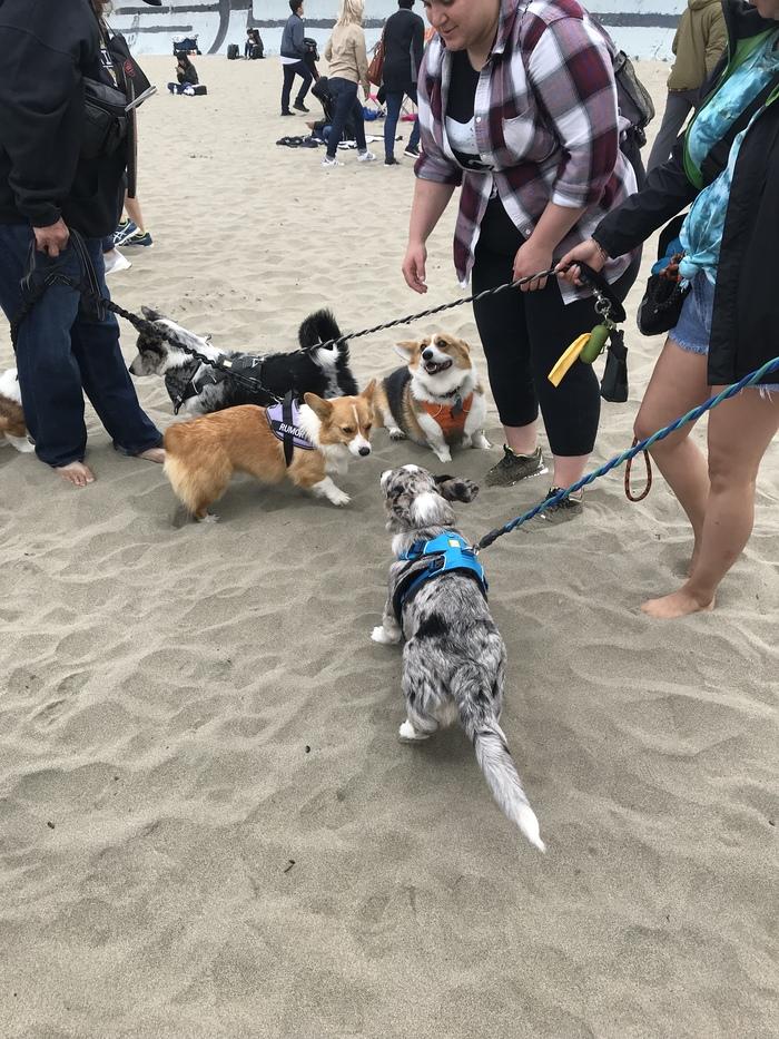 Corgi Con 2019 Корги, Вельш-Корги пемброк, Собака, Сан-Франциско, Пляж, Пикабушники заграницей, Фотография, Длиннопост