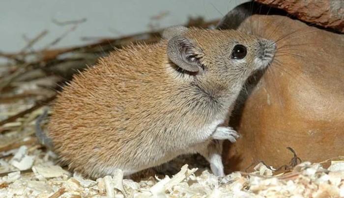 Иглистая мышь: Странный зверь Мышь иглистая, В мире животных, Познавательно, Длиннопост