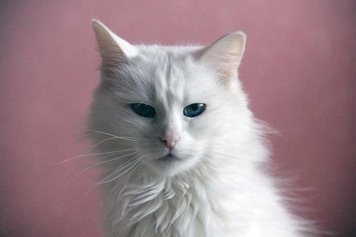 Моей кошке исполнилось 13 лет и я бахнул ей фотосет.) Кот, Фотография, День рождения, Фотосессия, Длиннопост