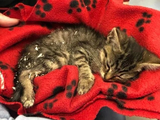 Дети спасли котёнка с загипсованными задними лапками Котята, США, Кот, Гипс, Спасение животных