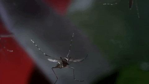 7 фактов о комарах, которые они сами предпочли бы скрыть от людей (но нет) Комары, Борьба, Насекомые, Гифка, Длиннопост