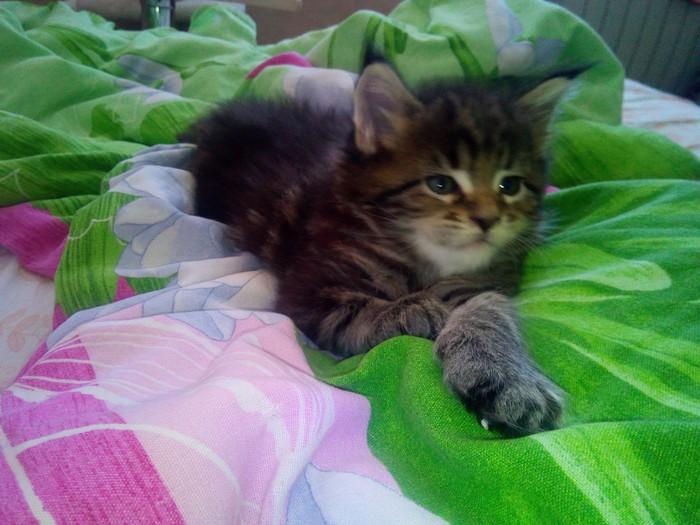 Доброе утро ! Мейн-Кун, Котята, Кот