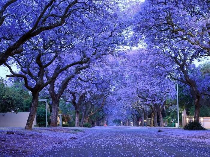 Необычные и красивые деревья, которые как будто выросли на другой планете Дерево, Красота природы, Природа, Цветение, Длиннопост