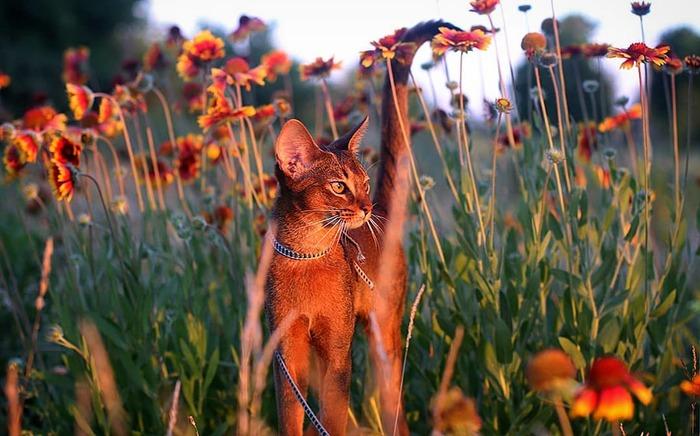 Абизянка Абиссинская кошка, Питомник, Кот