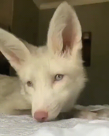 Лисица-альбинос