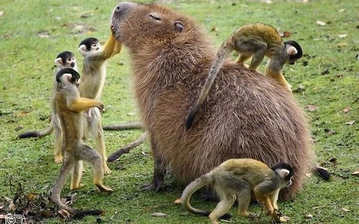 Капибара: Чрезвычайное происшествие в Московском зоопарке Капибара, Московский зоопарк, Трагедия, Негатив, Видео, Длиннопост