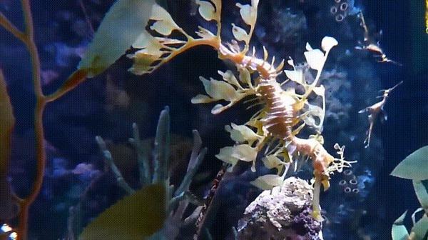 Лиственный морской дракон Лиственный морской дракон, Длиннопост, Гифка, Рыба