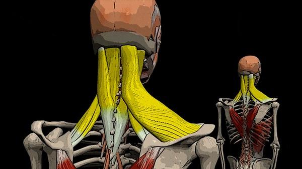 БОЛИТ ГОЛОВА И ШЕЯ: ременная мышца головы и шеи Здоровье, Медицина, Массаж, Анатомия, Видео, Гифка, Длиннопост