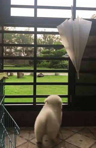 Ломится Собака, Щенки, Вертикальное видео, Белый, Пушистый, Домашние животные, Калитка, Дверь, Видео, Гифка
