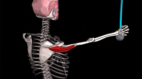 БОЛИТ ПЛЕЧО: дельтовидная мышца Медицина, Здоровье, Спорт, Анатомия, Видео, Гифка, Длиннопост