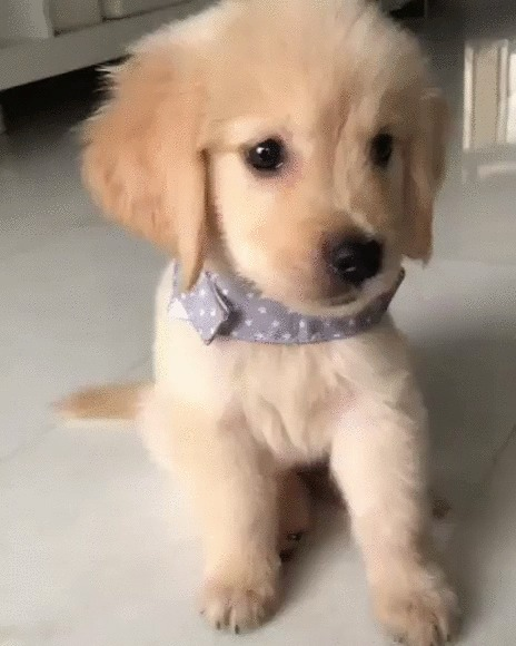 Хороший мальчик Собака, Золотистый ретривер, Щенки, Домашние животные, Лапы, Дай пять, Милота, Гифка