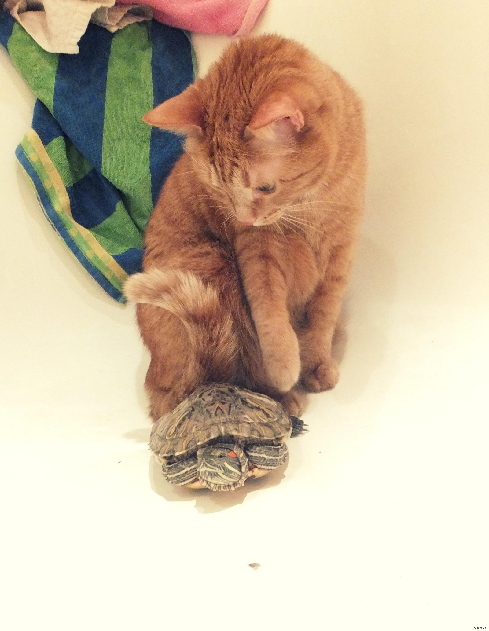 Мог ли кот съесть черепаху