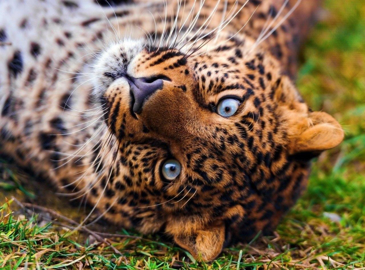 Обои детеныш леопарда, Милая мордашка. Животные foto 18