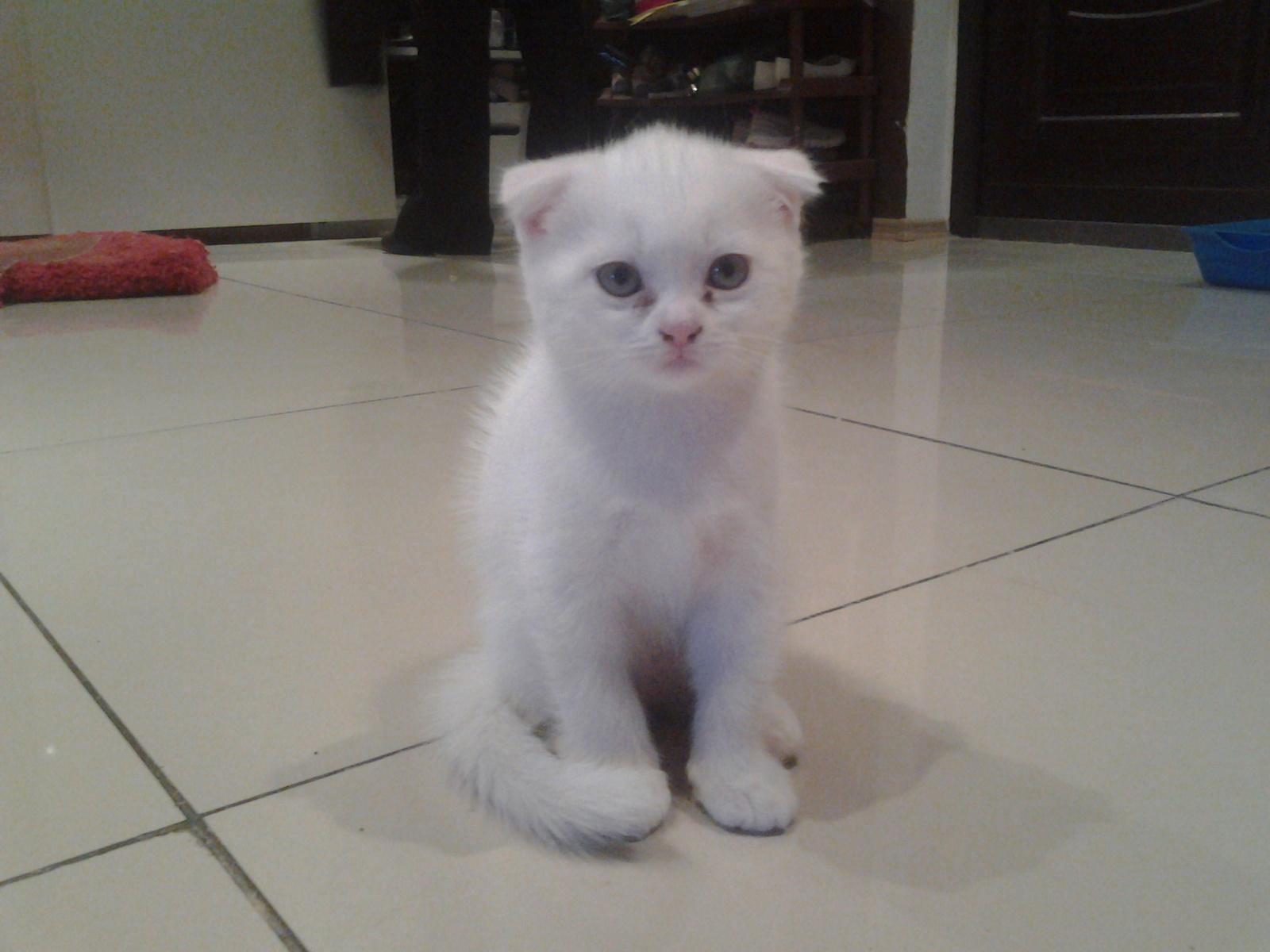 котик шотландец вислоухий белый
