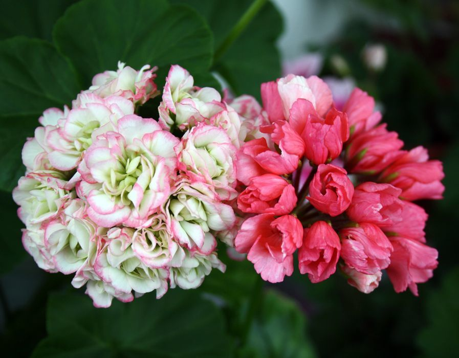 Герань тюльпановидная картинки