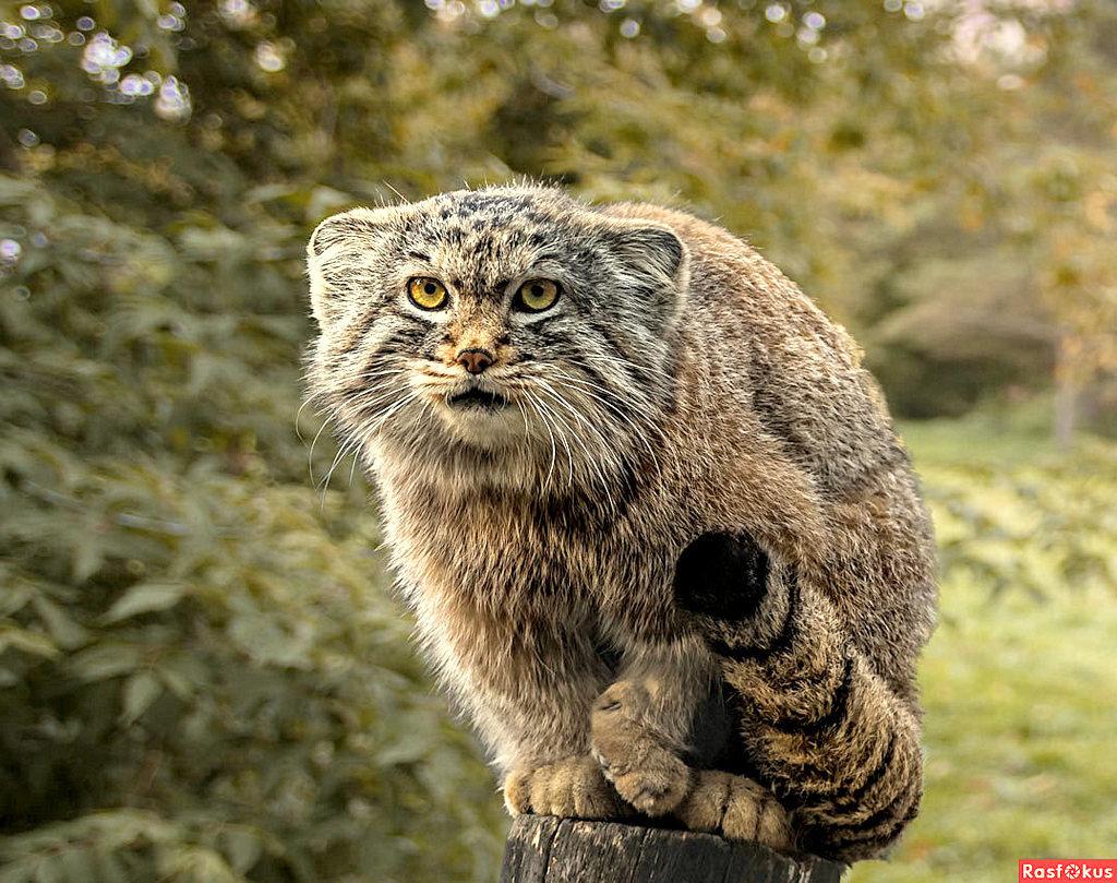 Степной кот Манул | Пикабу