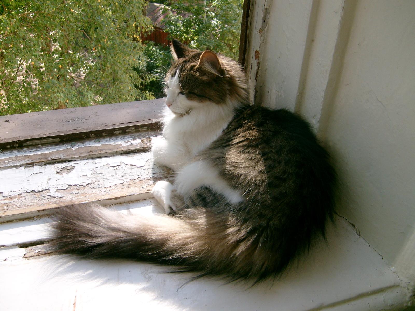 Обои пушистик, красота, кот. Кошки foto 17