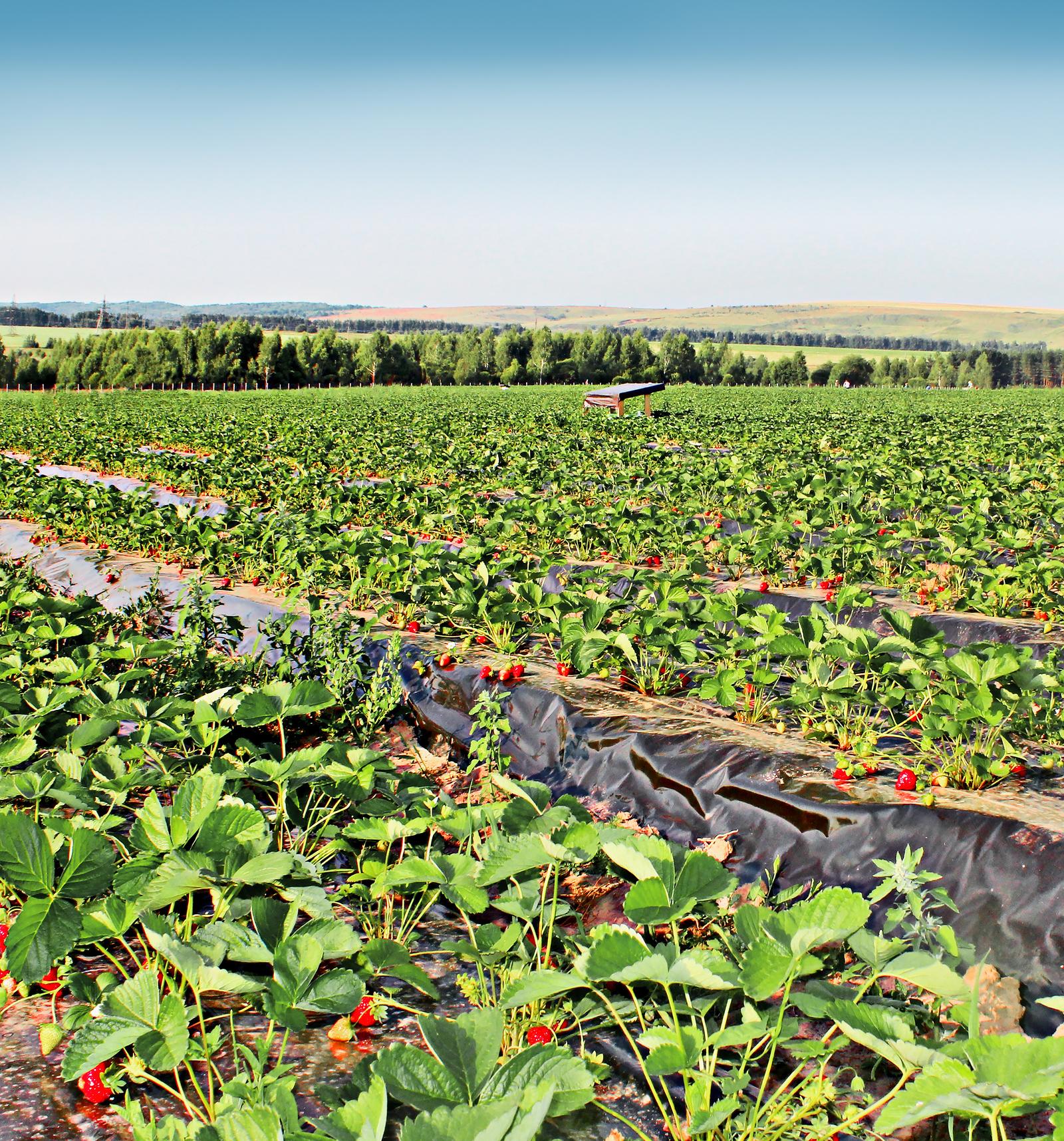 Как выращивают ягоды