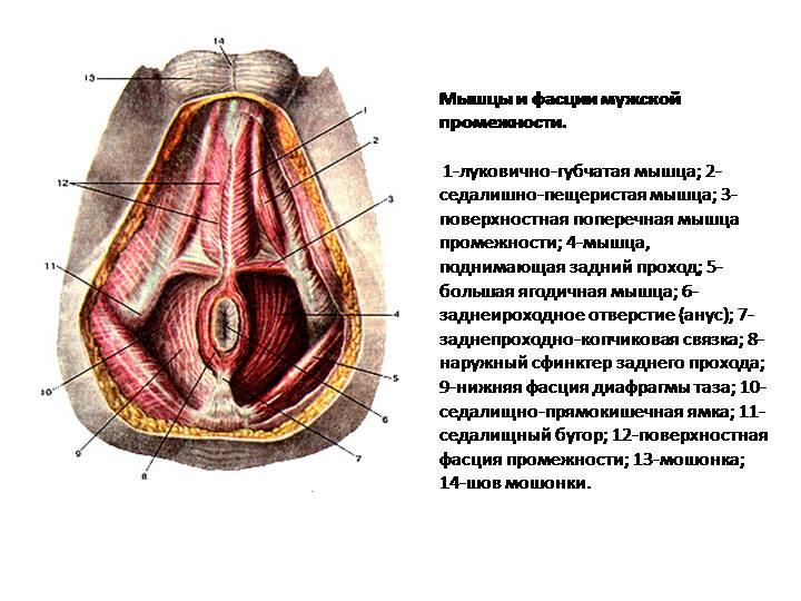 Мышцы ануса при оргазме