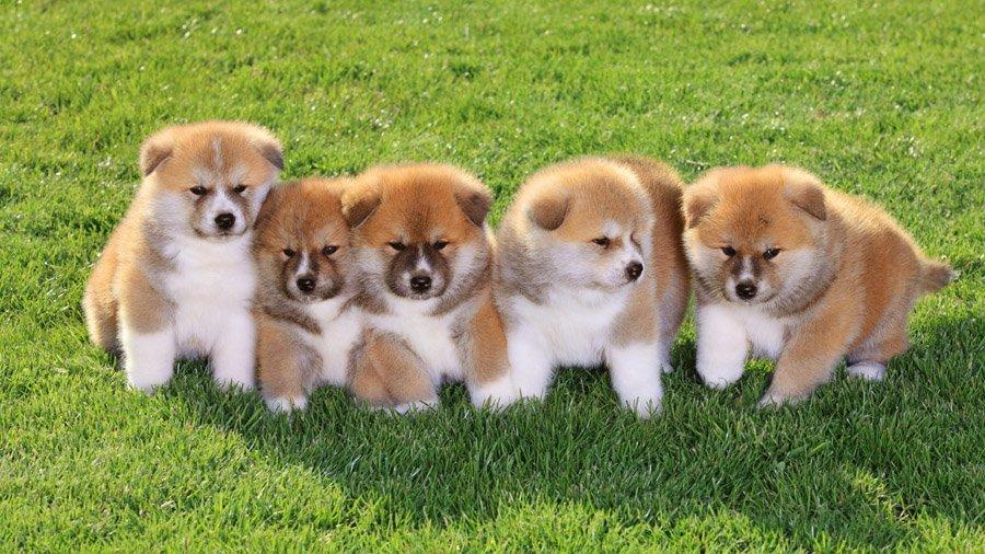 порода собак акито фото