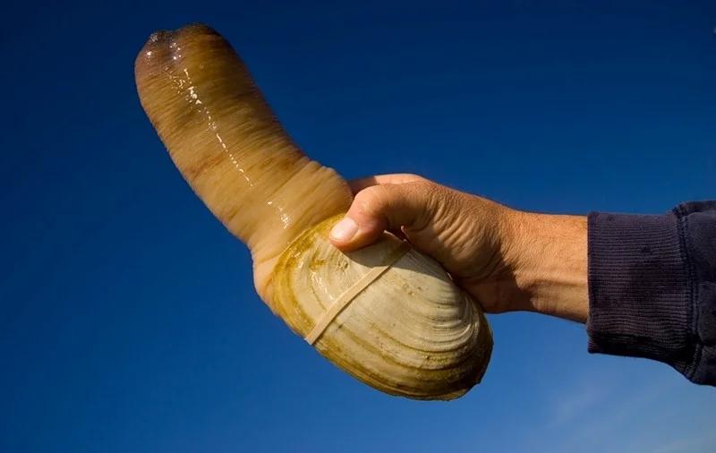 Моллюски с пенисом