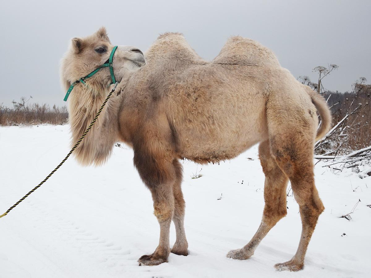 верблюд женского пола