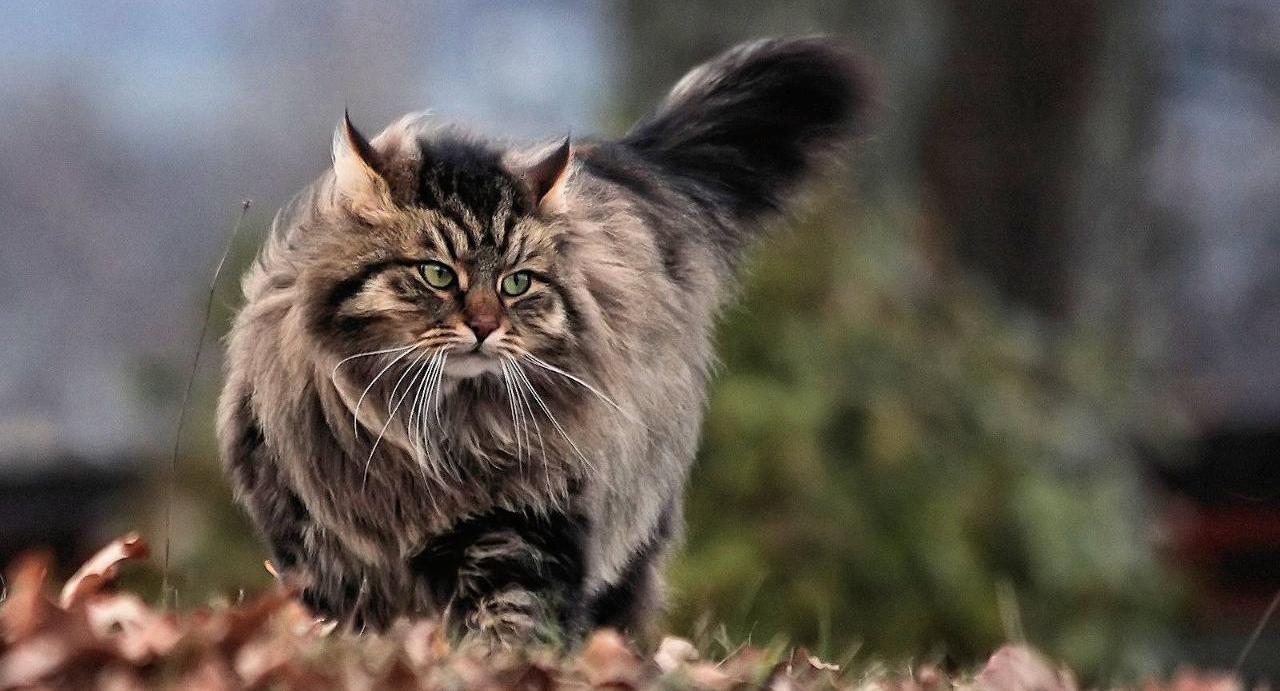 порода кошки сибирская фото
