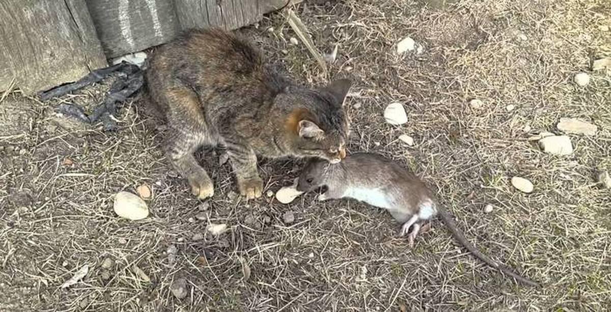 Увидеть в сновидении такое неприятное существо, как крыса – это всегда неожиданно и, скорее всего, после такого сна остается неприятный  часто снится не только присутствие крысы, но спящему приходится каким-то образом с ней контактировать.